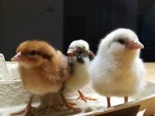 10 Bruteier bunte Mixe bunte Eier viele Rassen Hühner jetzt mit NEUEN Rassen!