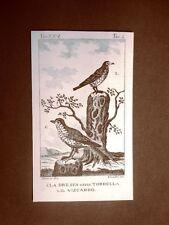 Dressa o Tordella e Viscardo Incisione rame del 1813 Buffon Uccello Ornitologia