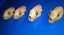 4 Real Skunk Skull 100% Natural