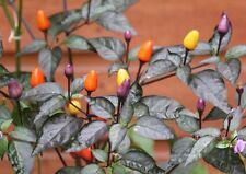 Bolivian Rainbow Chilli Seeds Chili Vegetable Hot Pepper NEW FRESH SEEDS HOT