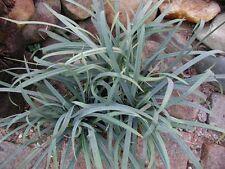 Carex laxiculmis 'Hobb' (Bunny Blue ®) 25 Plants - 3-1/2 inch Pots FREE SHIPPING