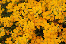 Wallflower Erysimum x allionii Orange Mini Plug Plants x 12 Hardy Perennial