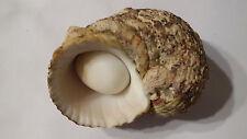 Conchiglia Shell TURBO SETOSUS  mm 79,5  con opercolo  Isole Seychelles