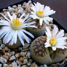 Lithops - 'lebendige Steine des Glücks' 5,5
