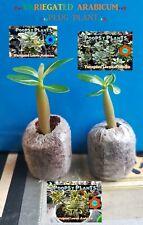 ❀●⊱ ADENIUM VARIEGATED ARABICUM ❁ VARIEGATED ❁ PLUG PLANT + COCO COMPOST ⊰❀#3