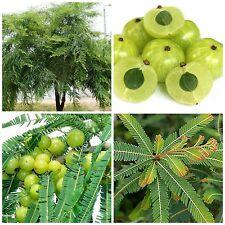 50 graines Phyllanthus emblica, Amla, groseille indienne,F
