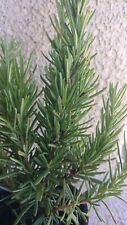 "Rosemary Plant Hardy, Live Shipped potted Herb Garden apprx 9"" tall"