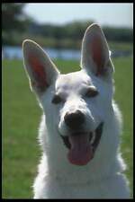 Warning 057 White German Shepherd on Duty Dog Sign 30cmx15cm 12x6 inch  Metal