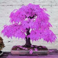 "30pcs Schöne ""Lila Maple Ghost"" Pflanze Baum Samen Garten Bonsai Samen E2J7"