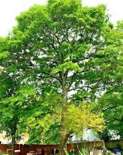 Water OAK Seedlings Tree QTY-15 Free Shipping,  SHIPS FRESH NOW. Organic