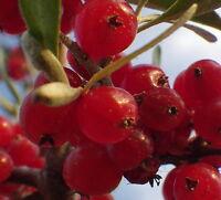 OVERSIZED SEEDLING Buffalo Bush Berry fruit shrub tree Goumi relative LIVE PLANT