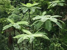 Lacy árbol Helecho (Cyathea coopere) - 25 + fresca Espora (semillas) - Hardy de crecimiento rápido!