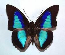 PREPONA PSEUDOMPHALE - unmounted butterfly