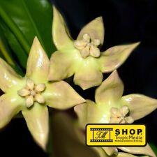 Hoya imperialis PALAWAN - Pflanze M