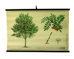 Botanical school chart, Vintage Cornelian cherry tree pull down, School map