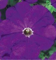 50 Pelleted Petunia Seeds Carpet True Blue FLOWER SEEDS