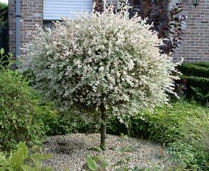 Salix Hakuro Nishiki japanische Harlekin Weide Stamm Stämmchen versch. Größen