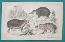 Hedgehog Tendrac Tenrec - 1853 Hand Colored Antique Print