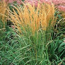 5 Karl Foerster Ornamental Grasses  Perennial Plants - Calamagrostis xacutiflora