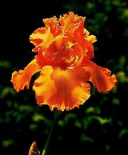 Roots Bulbs Iris 2 Bearded Rhizome Flower Bonsai Plant Home Garden Blooming Well
