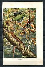 Farbige Tafel/Litho um 1900 - Flugdrache    (JR)