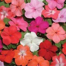 50 Seeds Impatiens Super Elfin XP Form Mix Flower Seeds Impatiens Seeds