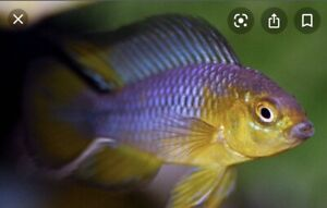 1 Young Pair Apistogramma Borellii Blue Young Live Tropical Fish Dwarf Cichlid