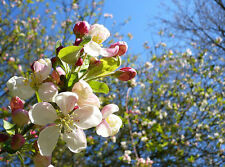 1 Crab Apple Tree 2-3ft Tall In a 1L Pot Native Malus Hedging Trees