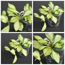 Hoya heuschkeliana VARIEGATED PIANTA rare (no Philodendron)