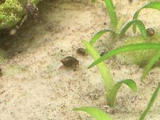 New listing 100+ Live Pond Cleaner/Feeder Snails (Bladder/Tadpole)