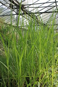 Giant Miscanthus giganteus Young Plant 9cm Pot x 3 Pots/Plants