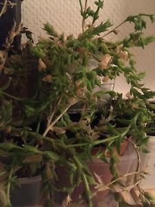 Sceletium tortuosum | Kanna | 30+ Samen frisch von 09.2021 | Kougoed