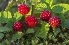 Raspberry or raspberry Arctic Rubus arcticus  30 seeds