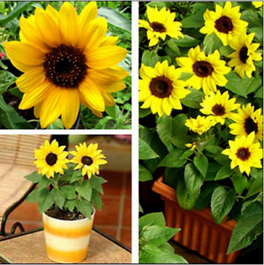 +50 SEEDs sun sunflower seeds cracking plants -easy to grow Dwarf Yellow flower