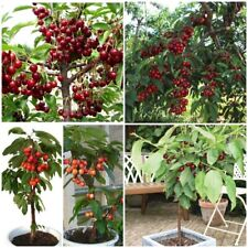 Black Cherry Tree Seeds Rare Fruit Seeds Cherry Seeds Sweet Cherry Hot_20 Seeds