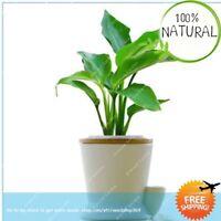 Strelitzia Reginae Long Seeds Plants Flowering Bird Of Paradise House 100pcs