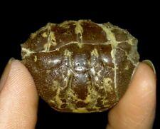 Amazing Arthropod, Crustacean, Crab Fossil From Java, Indonesia, 32Mm