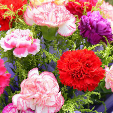 200 seeds of carnation seeds flowers mix of colors perennial mother Dianthus
