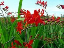 100 x Crocosmia 'Lucifer' seeds.