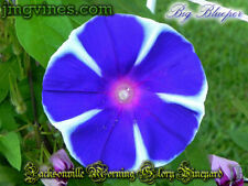 Big Blueper Japanese Morning Glory 6 Seeds