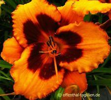 """Hemerocallis """"Sumatran Tiger"""" Taglilie"""