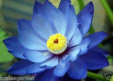 SAPPHIRE BLUE LOTUS / Waterlilly Flower  -  Kamal Nelumbo Nucifera 10 seeds