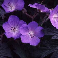 Fairy Flower Seeds Geranium Pratense purple Haze x10 seeds Hardy Perennial