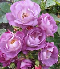 Climbing Rose (Light Blue)  Climber 10 Seeds !!!