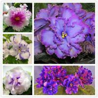 African Violet flower seeds rare garden bonsai Perennial Herb flower seed variet