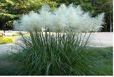 WHITE PAMPAS ORNAMENTAL GRASS Over 1,000 SEEDS
