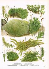 Mosses Fissidens Atrichum Leucobryum Mnium Plant Print 1972 Picture TOBOFP#181