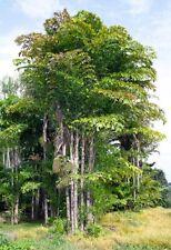15 x Caryota mitis seeds