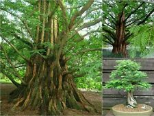 10 DAWN REDWOOD TREE SEEDS (Metasequoia Glyptostroboides) Deciduous  Bonsai Gift