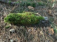 Moss Covered Log 11 inches long x 1 inch wide